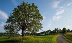 Európsky strom roka 2016 – 200 rokov stará hruška vobci Bošáca